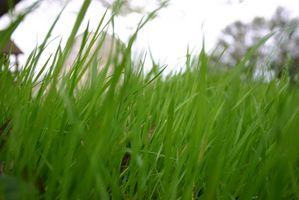 Hvordan man dyrker græs i Utah