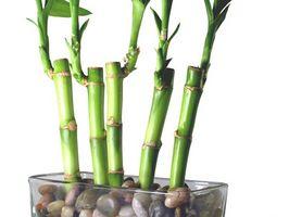 Voksende Lucky Bamboo udendørs