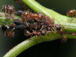 Hvad er den bedste Spray til at slippe af med myrer?