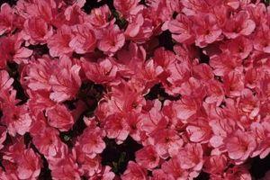 Azalea plantning zoner & pleje