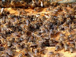 Sådan flyttes Honey Bee nældefeber