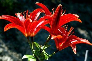 Asiatiske Lily plantning afstand