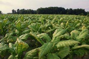 Prydplante tobaksplanter