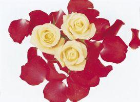 Rød & fløde rosenblade