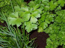Hvordan man dyrker din egen urter & krydderier
