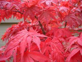 Hvad er meningen med japansk ahorn træ?