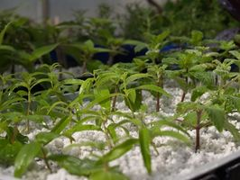Voksende urodede plante stiklinger