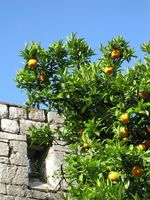 Sådan Beskær appelsintræer i Arizona