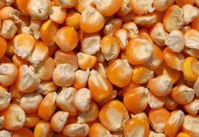 Effekten af frø kerne størrelse på majs udbytte