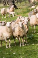 Hvordan man opbygger en får Bar