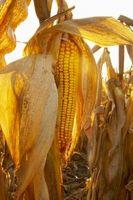 Hvordan til at plante majs på Cob