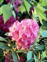 Hvad er den stilke vokser ud af en Rhododendron?