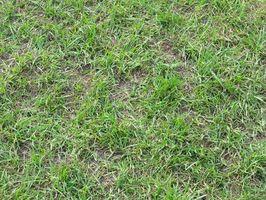 Hvordan kan jeg få slippe af brune pletter på St. Augustine Grass?
