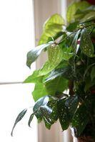 Naturlige retsmidler at slippe stueplanter af Whiteflies