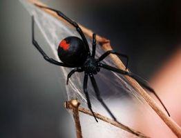 Sådan holder Black Widow edderkopper ud af dit hjem