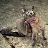Ville Lavendelolie hjælper med katte øre mider?