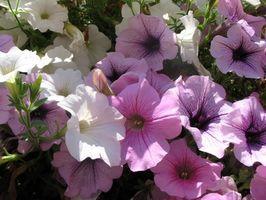 Hvad slags blomst er en Superbell?