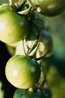 Sådan bruges en tomat bur