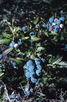 Hvordan man dyrker nordlige blåbær