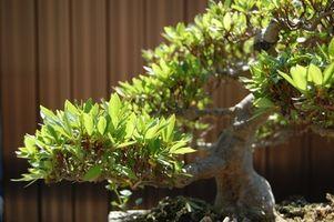 Typer af japanske Bonsai