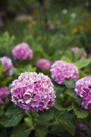 Behøver hortensiaer sure jord?