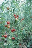 Hvad er de lille gullig hoppe Bugs på mine tomatplanter?