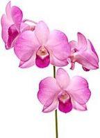Om orkideer