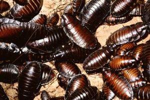 Vil cedertræ barkflis holde kakerlakker?