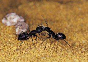 Hvordan til at ødelægge en tømrer Ant reden