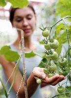Hvordan man laver en naturlig Bug Spray for tomatplanter
