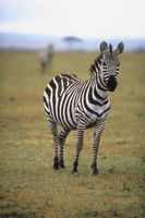 Hvordan man laver en Zebra Print Room
