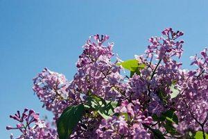 Hvilken slags planter kan jeg vokse til et duftende have?