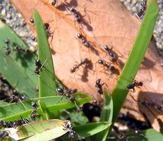 Hvad er en grøn måde at slippe af med myrer i græs?