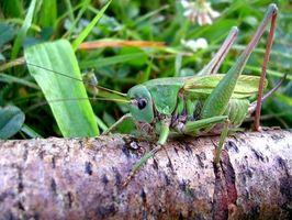 Hvordan er græshopper skadelige?