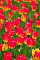 Sådan transplantation & pleje tulipaner
