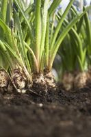 Hvordan du tilføjer gær til dårlig jord