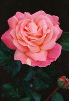 Hvordan man naturligt stopper Rust Fungus på roser