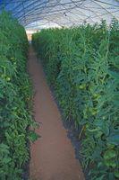 Drivhus temperatur for tomater