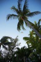 Zoysia græsset vokse godt i Florida?