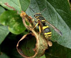 Typer af hvepse & gedehamse