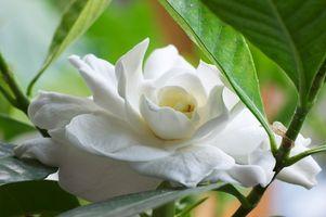 Hvid Gardenia blomster