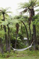 Gigantiske kakerlakker, der lever i palmer