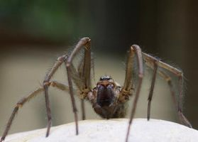 Fælles veranda edderkopper i Kentucky