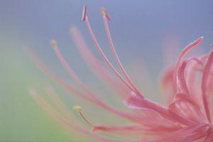 Spider Lily oplysninger