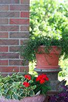 Hårdføre dværg stedsegrønne buske, der vil vokse i containere