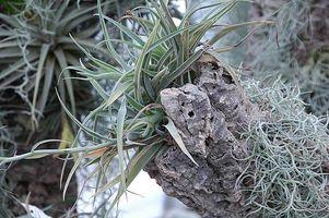 Hvordan at tage sig af epifytiske planter