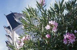 Oleander og Salt skade
