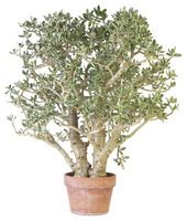 Min Jade plante har sorte pletter Under bladene & er faldende blade