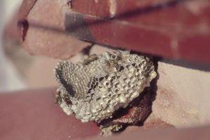 Hvordan til at dræbe hvepse og mudder Daubers