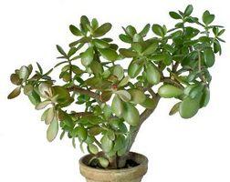 Hvornår bør jeg Repot en Jade plante?